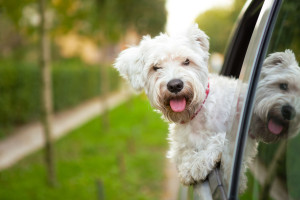 34963733 - maltese puppy looking out the car window