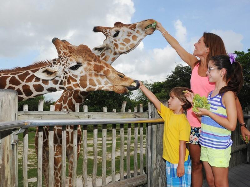 feeding-giraffes
