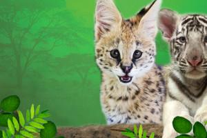 tiger-serval-labor-da#F3D10